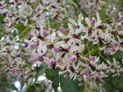 The Persian Lilac - Melia Azedarach Flower