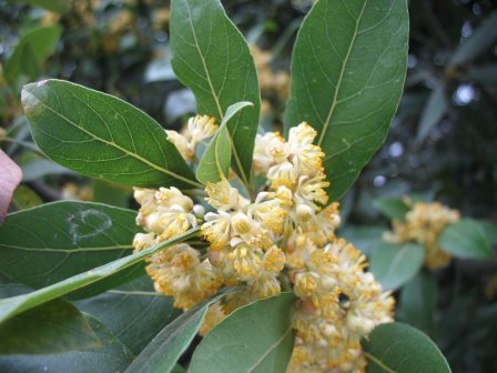 The World S Tree Species Bay Laurel Laurus Nobilis L