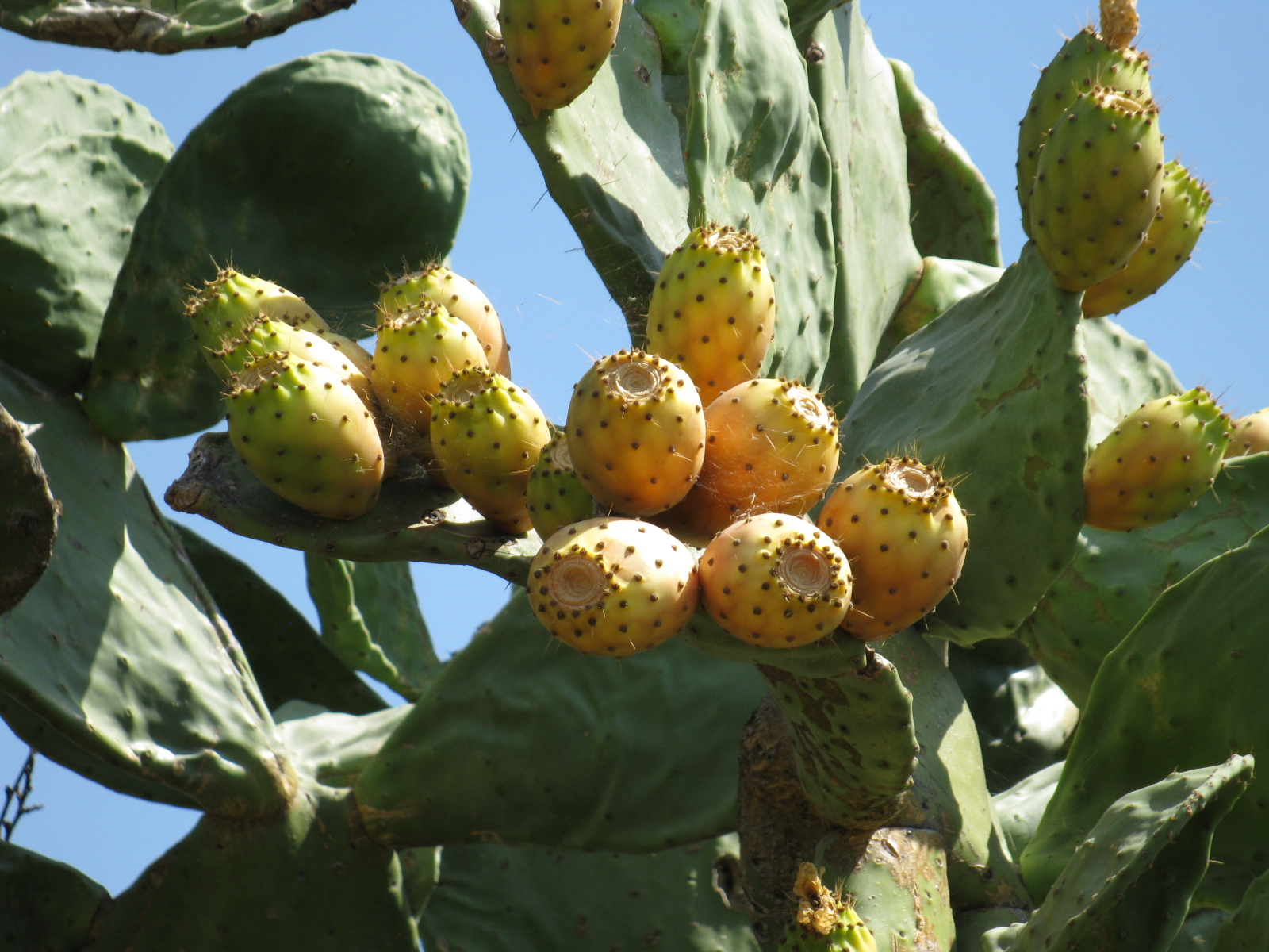 Ly Pear Or Barbary Fig A Tree Like Cactus