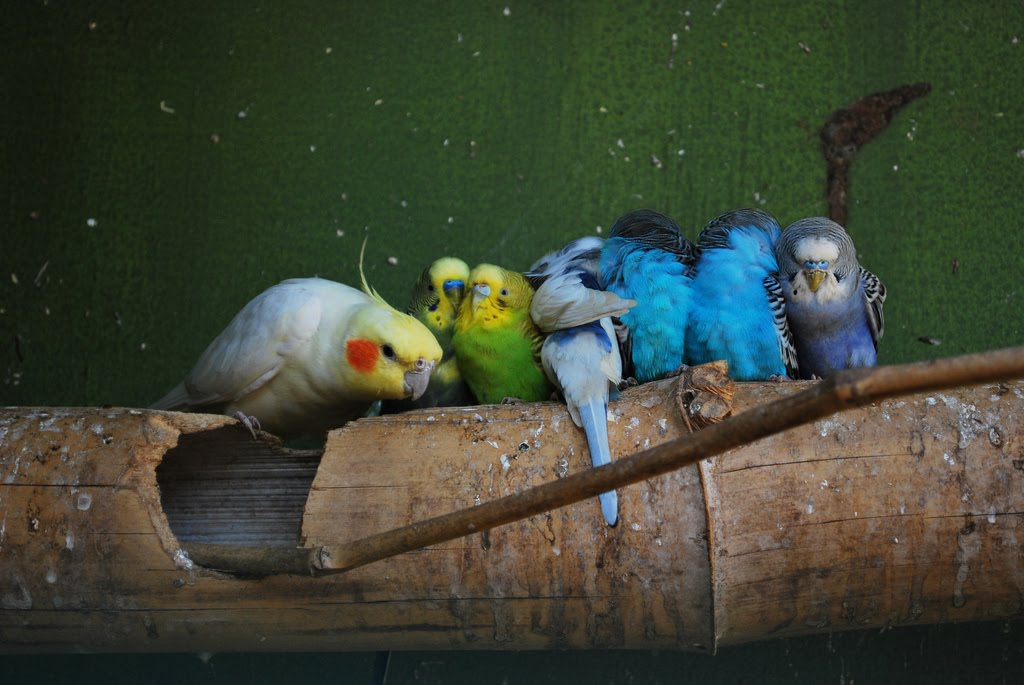 Budgies are Awesome: Can budgerigars and cockatiels live