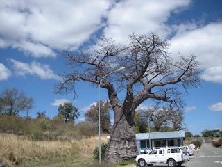 Leipäpuu