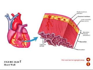 Doctors videos: Histology: heart wall