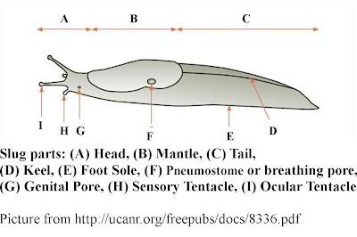 Slug Anatomy Diagram Led Lights Wiring Body Free For You Wild Birds Unlimited What Is A Rh Lansingwbu Blogspot Com Banana Snail