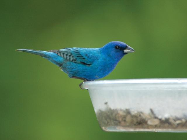 Wild Birds Unlimited Do We Have Indigo Buntings In Michigan