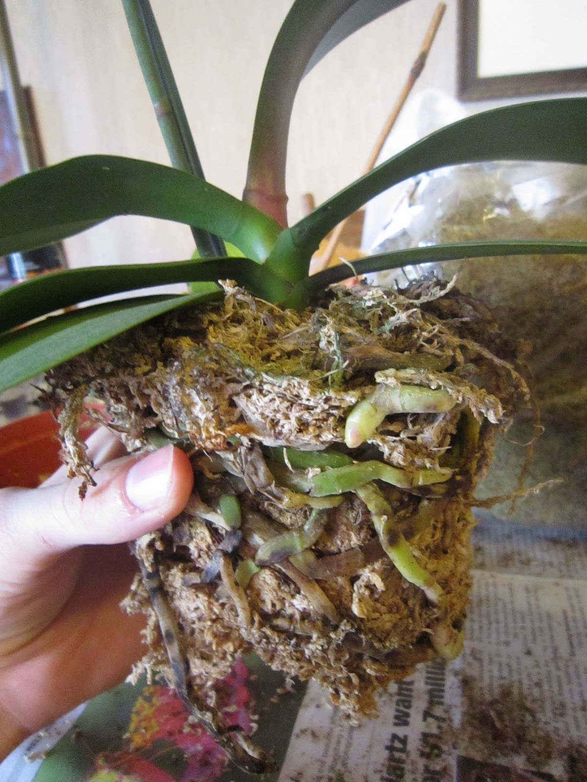 Chuck Does Art: Re-potting Phalaenopsis Orchids In