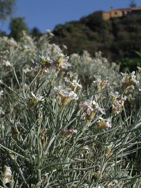 Parolinia aridanae
