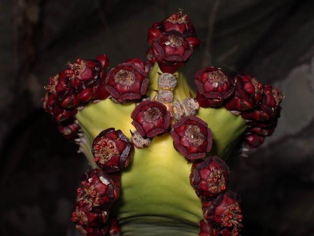 Euphorbia canariensis 02