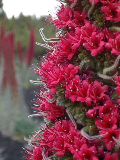 Echium wildpretii subsp. wildpretii