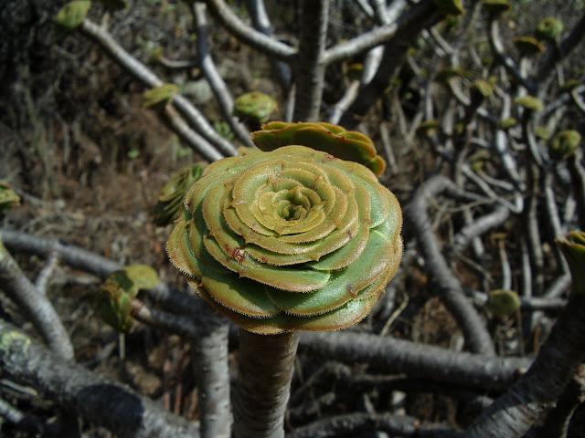 Aeonium arboreum subsp. arboreum