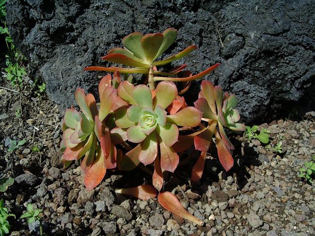 Aeonium gorgoneum 01