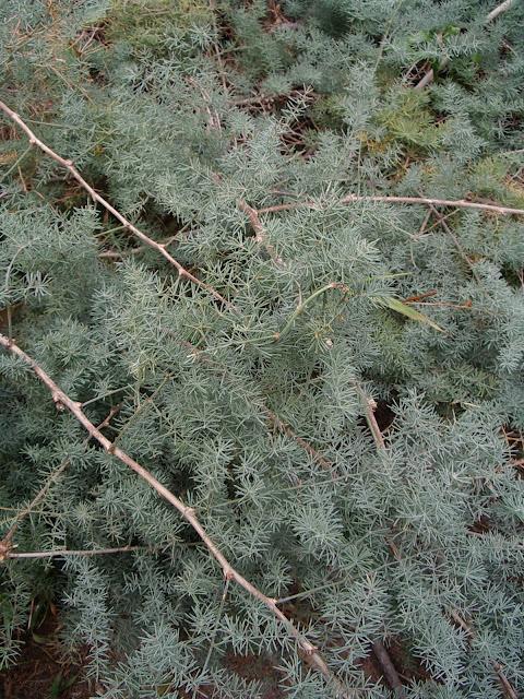 Asparagus nesiotes Svent. subsp. nesiotes 01