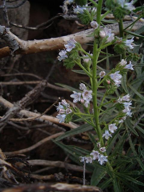 Echium decaisnei subsp. decaisnei x triste subsp. triste