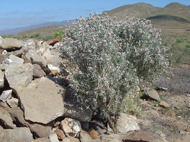 Parolinia intermedia