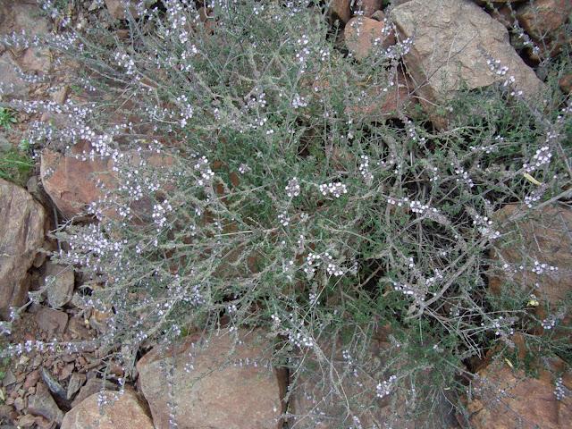 Micromeria canariensis subsp. meridialis 02