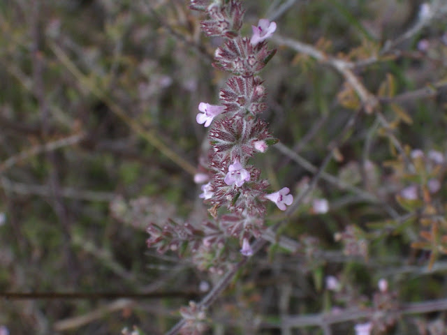 Micromeria canariensis subsp. meridialis 01