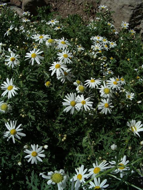 Argyranthemum adauctum subsp. canariense