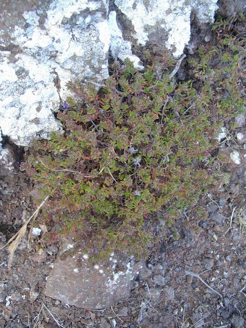 Micromeria mahanensis 02