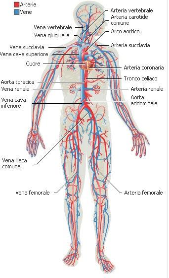 arterie e vene coronarie