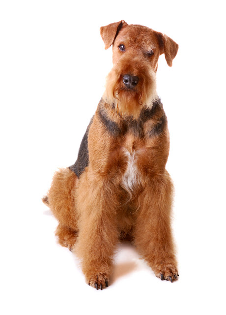 Extreme Dog Breeds Airedale Terrier