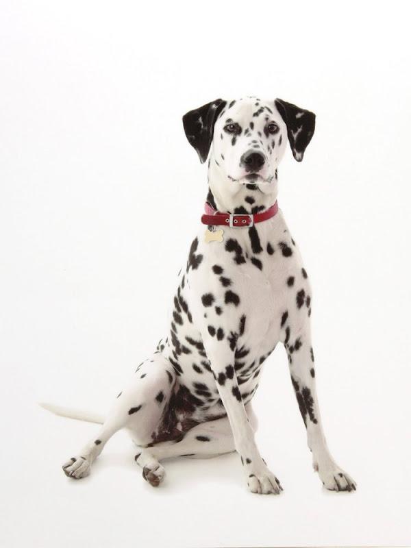 Extreme Dog Breeds: Dalmatian
