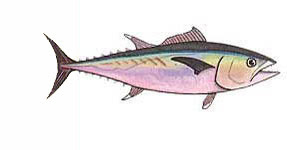 Tuna, Dogtooth / Gymnosarda unicolor