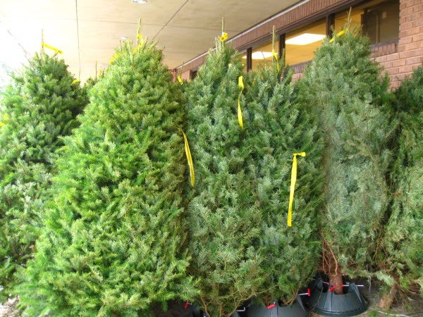 i got a bellevue washington christmas tree at a fort worth texas kroger today - Fred Meyer Christmas Trees
