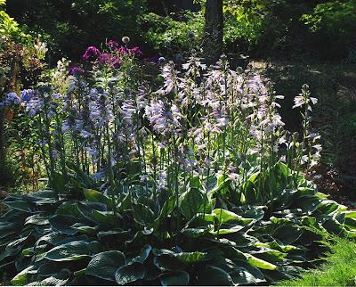 A Garden Diary Sun Hardy Hostas
