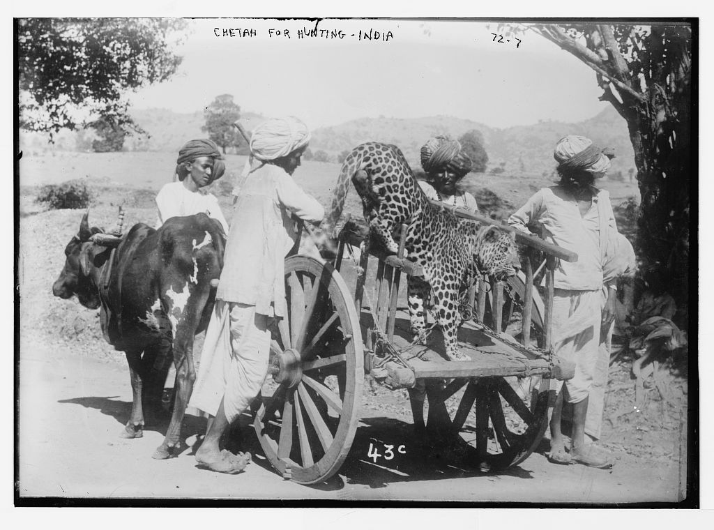 Chetah on cart, used for hunting