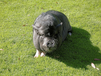 Gallery For > Full Grown Mini Pot Belly Pig