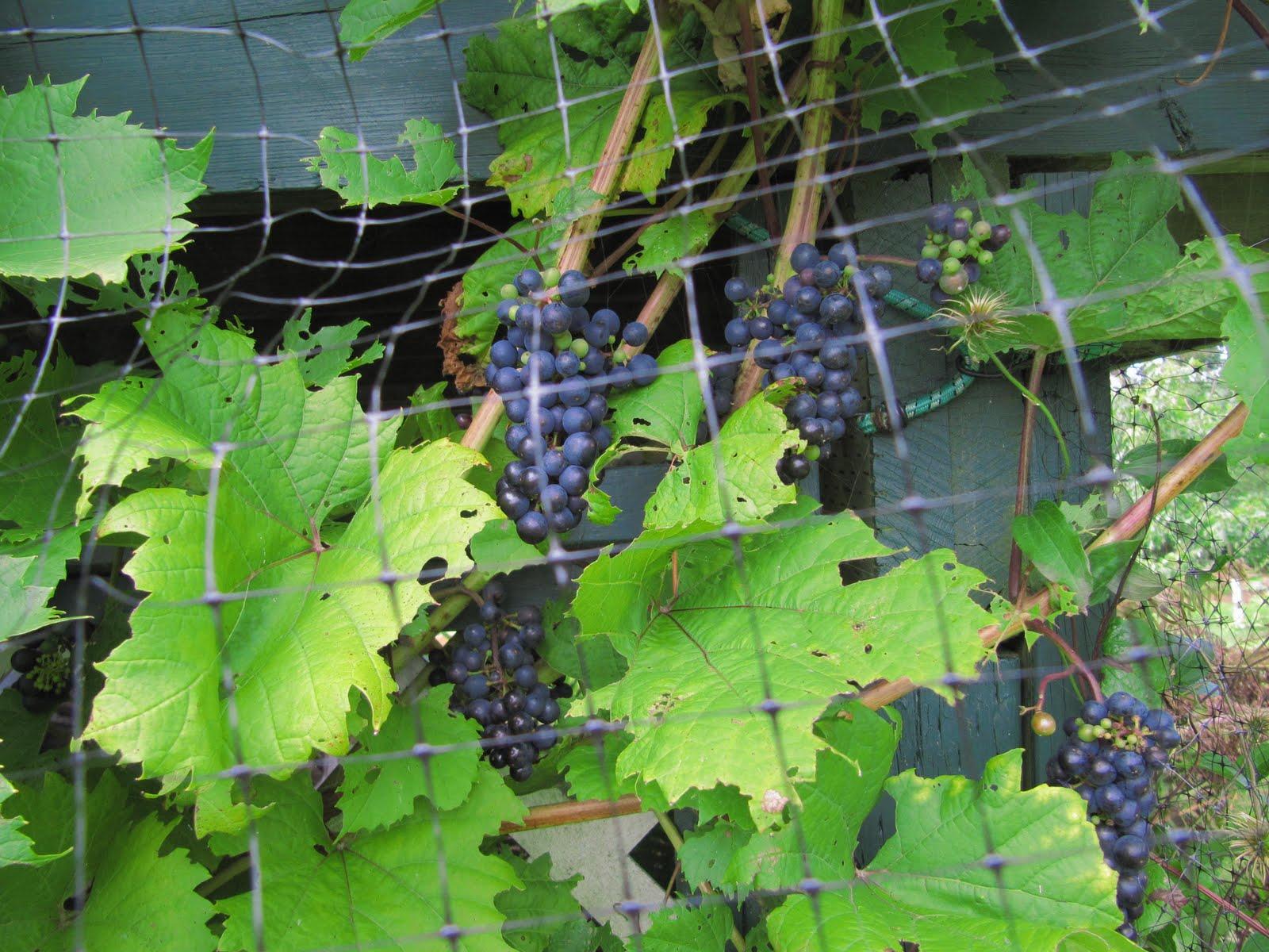 Heidi in the garden: Critter damage II: Sour grapes