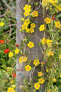 Flowers online 2018 yellow flowers that grow on vines flowers online yellow flowers that grow on vines these flowers are very beautiful here we offer a collection of beautiful cute charming funny and unique flower mightylinksfo