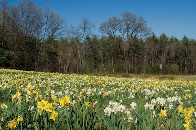 Even In A Field Narcissus Look Best When Planted Naturally No Bark Mulch Here This But Rather Thick Deep Gr Meadow Near Us At The