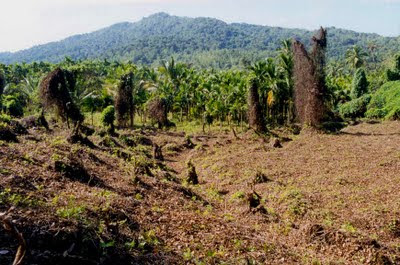 Encroachment for agriculture inside Neriya forest, Dakshina Kannada District, in Karnataka's Western Ghats