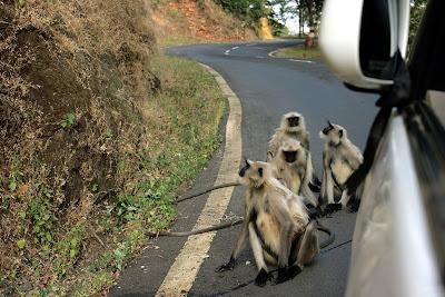 Hanuman langurs on the Bilaspur - Amarkantak highway in Achanakmar tiger reserve, Chattisgarh