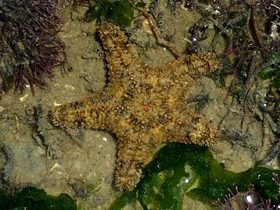 Gymnanthenea laevis starfish