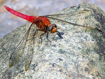 Dragonfly, Orthetrum testaceum