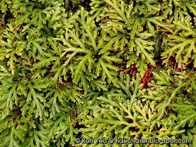 Spikemoss (Selaginella sp.)