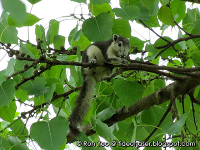 Variable Squirrel (Callosciurus finlaysoni)
