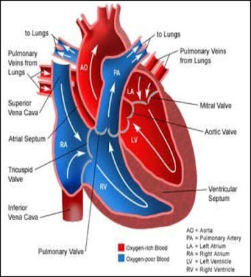liaspinsubso: heart diagram for kids to label