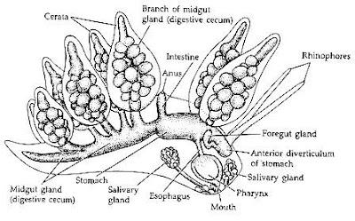 J & A- Biodiversity (Nudibranch) on emaze