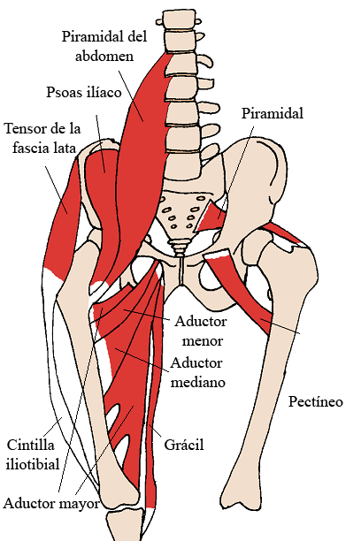 Anatomía Muslo. Trocanteritis
