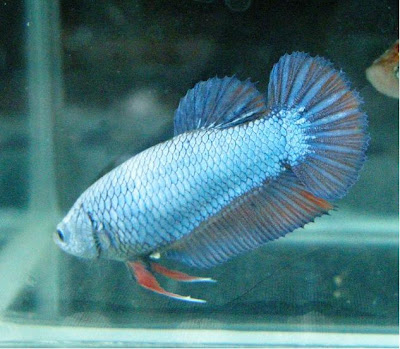 How to choose betta fish male and female for breeding ...
