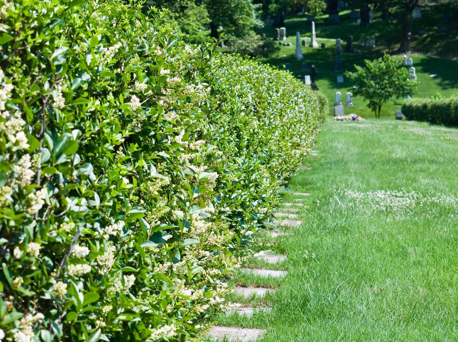 green wood cemetery trees privet