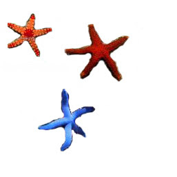 Fromia Starfish, Red, Marble, Blue