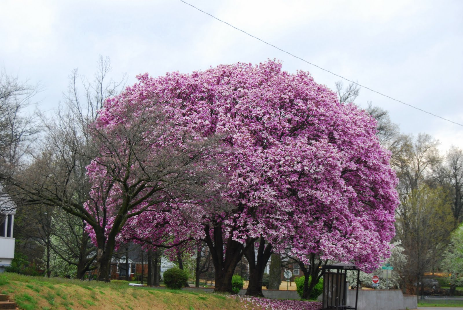 Where Can I Buy A Black Tulip Magnolia Tree 86