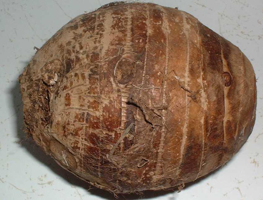 Exotic Eating Big Taro Root Or Malanga Coco