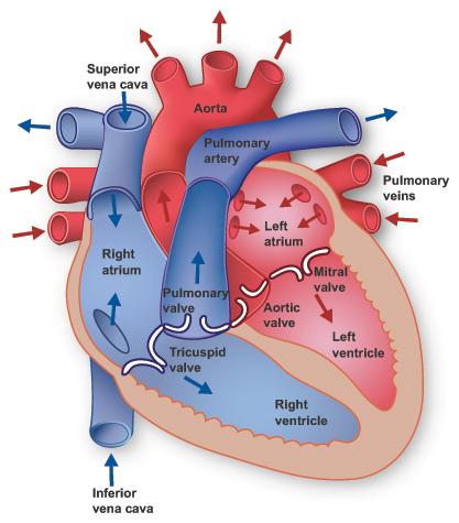 Biology help: Diagram of a heart
