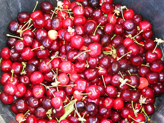 Homegrown Burlat sweet cherries.  Indre et Loire, France. Photographed by Susan Walter. Tour the Loire Valley with a classic car and a private guide.