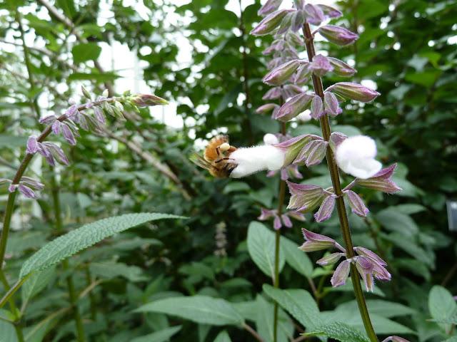 Bee on late-blooming salvia, Brooklyn Botanic