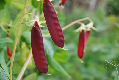 Rebsie Fairholm's famous red-podded pea